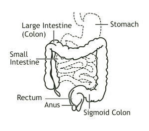 Human digestive diagram pictures functions processes digestive system pictures ccuart Choice Image